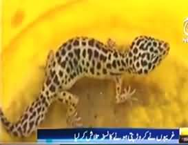 10 to 15 Crore Price of One Poisonous Lizard found in the Mountains of Thatha - People Started Catching Them to Become Rich