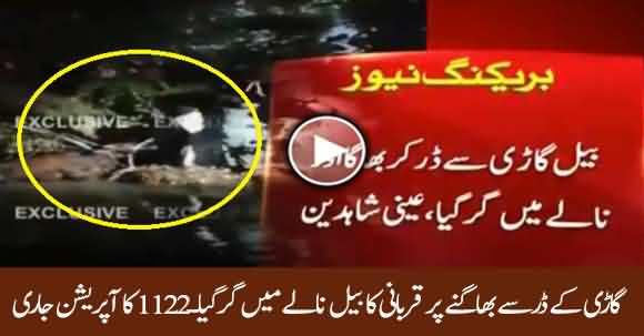 Afsoosnak Khabar - Qurbani Ka Bail Nalay Main Gir Gaya, Rescue 1122 Ka Operation Jari