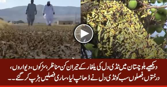 Amazing View of Locusts in Balochistan, Everything Covered By Locusts