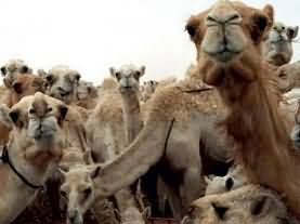 Camel Meat is useful for so many diseases - Qahira Research Centre