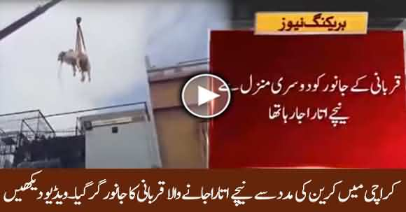 Exclusive - Cow For Sacrifice Fall From Crane While Bringing Down From 2nd Story