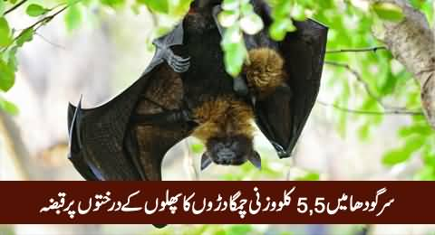 Giant Bats Captured The Fruit Trees in Sargodha, People of Area Worried