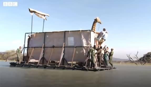 Giraffes Rescued From A Sinking Island in Kenya