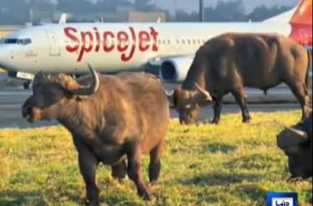 Passenger Plane Collides with Buffalo At Indian Airport, Buffalo Died, Plane Damaged