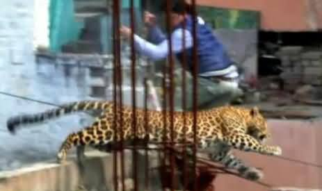 Tiger Enters in the Meerut City of India and Injures 6 Persons, Police Fails To Catch the Tiger