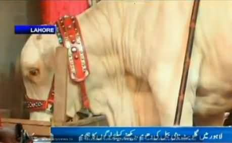 Watch Animal Version of Gullu Butt, All His Habits Are Similar to Gullu Butt